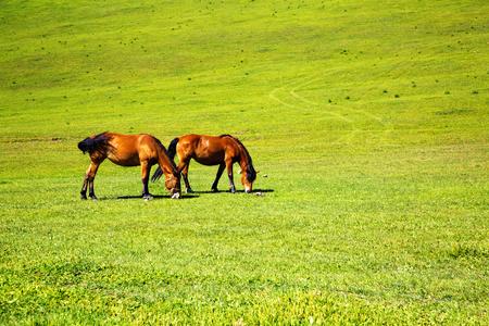 horses in the  prairie Stock Photo