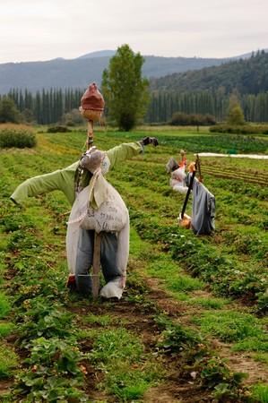 schrikken kraai in orangic aardbei veld staat Washington