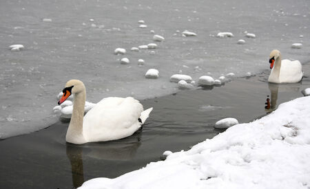 pair of swns sweemming in the lake of the Hyde park in London, in a winter day  Stock Photo