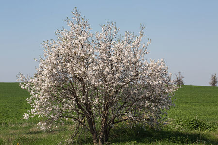 almond tree blossoms in full bloom, green field background