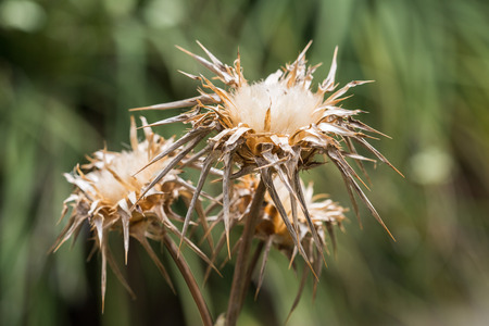 dried  silybum marianum flowers, blurred background