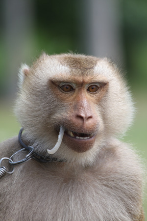 Macaque monkey chained closeup