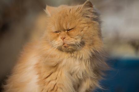 Beautiful sleepy Persian cat closeup