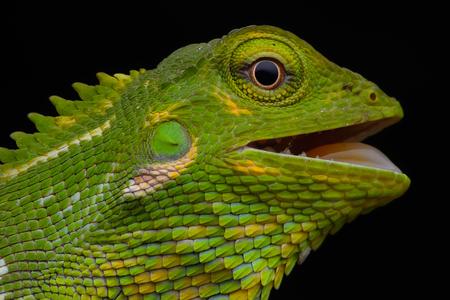 chameleon lizard: chameleon lizard