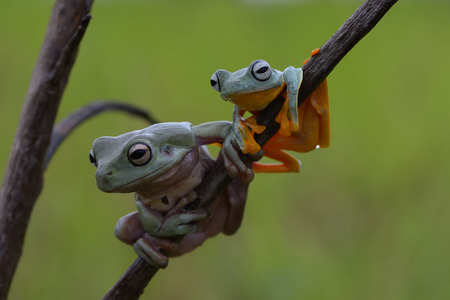 wallace: dumpy frog and flying frog Stock Photo