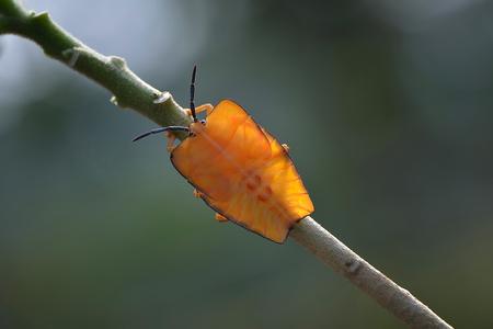 pentatomidae: stink bug