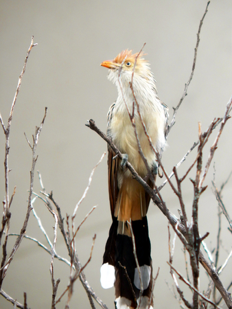 White Anu bird perched on dry branches I