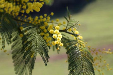 Sensitive plant, Mimosa
