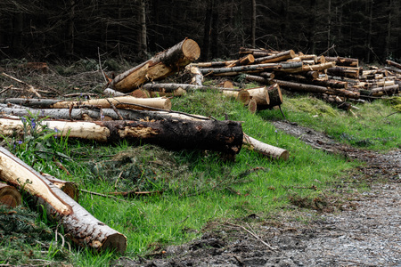 Is deforestation. Carvel pines lie on the plot. Timber harvesting in the coniferous forest. Zdjęcie Seryjne