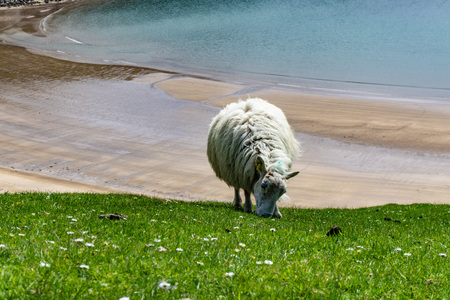 Sheep grazing in the pastures and Irish cliffs.