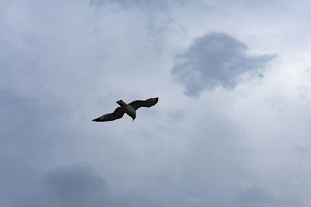 Seagull seabird flying in bright blue gray sky, wide spreded wings, white clouds. Freedom in flight. American herring gull