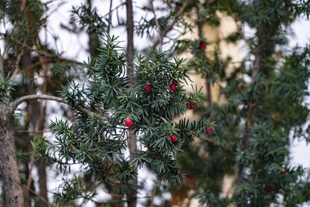 Christmas holly red berries with green leaves and fir branches, close up. Ilex aquifolium Holly green foliage with matures red berries. Christmas background, card. Evergreen Holly Boughs Stockfoto