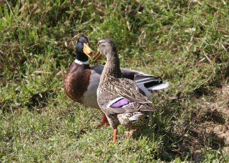 Ducks Chatting