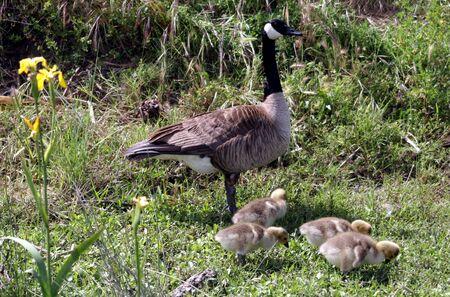 california delta: Goose Mom with Chicks