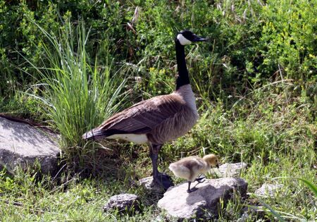 california delta: Canadian Goose with Chick