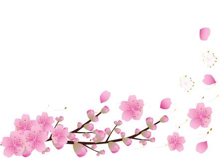 사쿠라 꽃 배경입니다. 벚꽃 격리 된 흰색 배경
