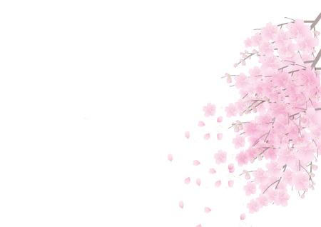 Sakura Blumen Hintergrund. Kirschblüten isoliert auf weißem Hintergrund Standard-Bild - 40456586