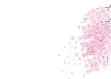 Sakura flowers background . cherry blossom isolated white background Zdjęcie Seryjne - 40456586