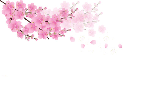 summer in japan: Sakura flowers background . cherry blossom isolated white background