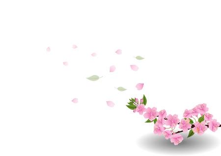 桜の花の背景。分離された桜ホワイト バック グラウンド
