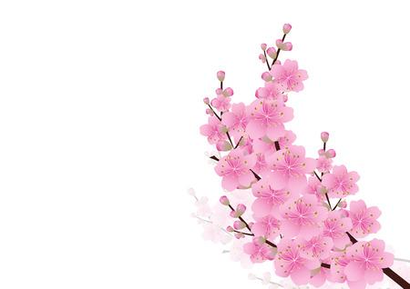 ピンクの花春の背景。さくら、桜の花、コピー スペース、白い背景で隔離の白い花コーナー境界線、ベクトル イラスト