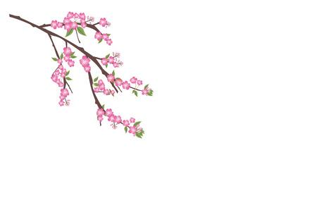 japanese garden: Sakura flowers background. cherry blossom isolated white background