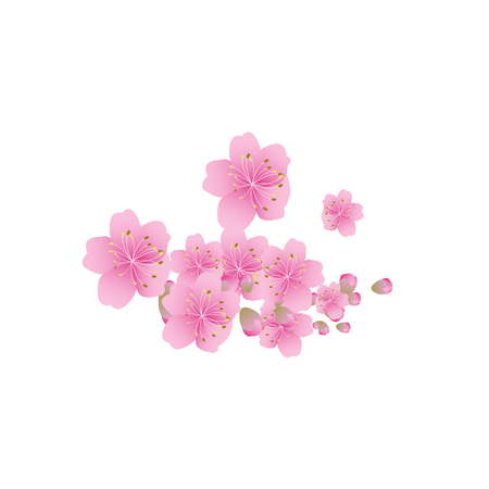 pink flower background: Sakura flowers background. cherry blossom isolated white background