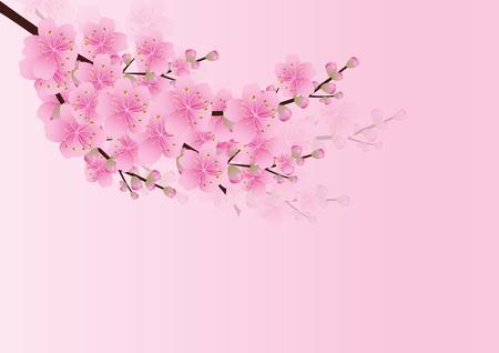 blossom background: Sakura flowers background. cherry blossom isolated white background