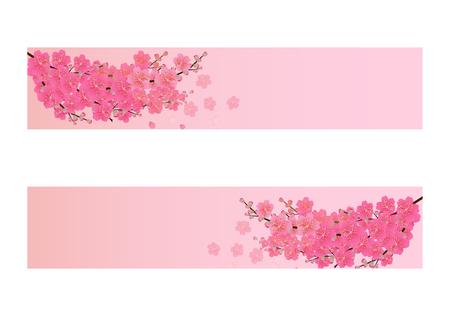 chinese new year card: Cherry blossom flowers background. Sakura flowers isolated white background