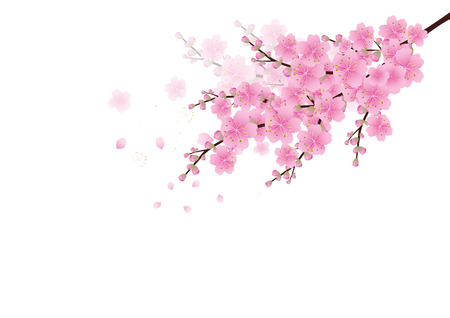 Sakura cherry blossom illustration