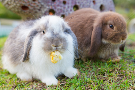 lop: Cute holland lop rabbits in the garden