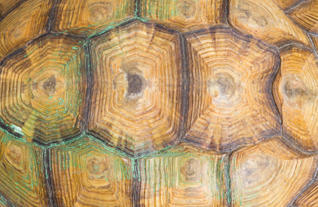 animal skin: Texture of Sulcata Tortoise carapace Stock Photo