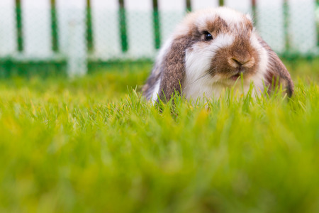 lop: Cute holland lop rabbit in the garden