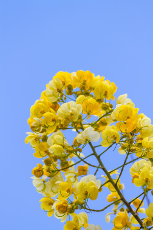 edible plant: cassod tree, cassia siamea or siamese senna is yellow flower which is edible plant