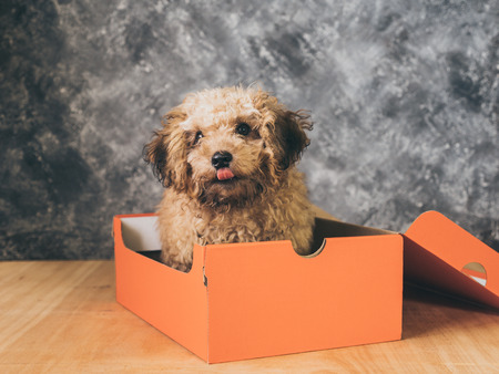 Small  poodle puppy is in a gift box on  grunge background.
