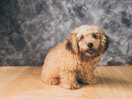 whelp: Small  poodle puppy on  grunge background. Stock Photo