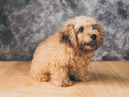 Small  poodle puppy on  grunge background. Stock Photo
