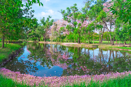 Flowers of pink trumpet trees are blossoming in  Public park of Bangkok, Thailand Stock Photo - 76914186