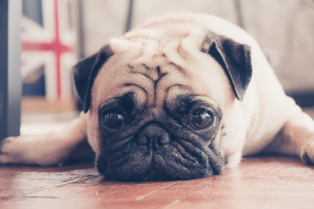 Close up face of cute pug puppy dog sleeping on wooden floor. Vintage tone