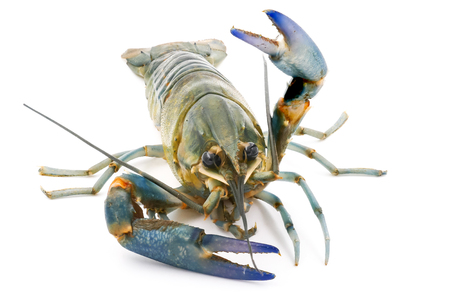 Crayfish or Freshwater lobster on a white background.