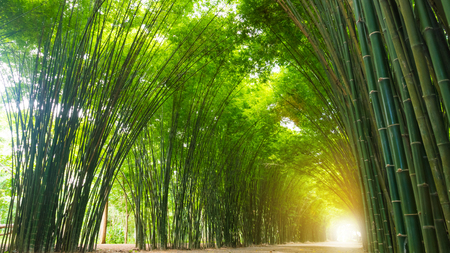 Tunnel bamboo tree with sunlight.