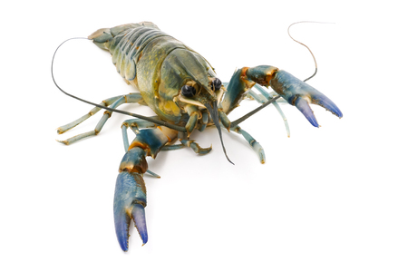 pincers: Crayfish or Freshwater lobster on a white background.