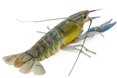 Crayfish or Freshwater lobster on a white background. Imagens - 82432829