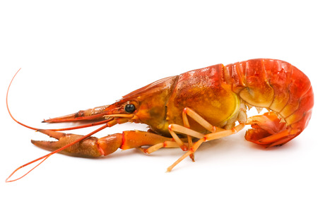 pincers: Boiled Crayfish or Freshwater lobster on a white background.
