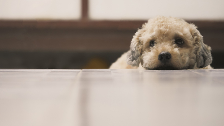 Cute toy poodle dog lying on floor at home. Zdjęcie Seryjne