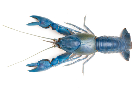 Blue crayfish ( Cherax destructor ) on white background. 免版税图像 - 84870603