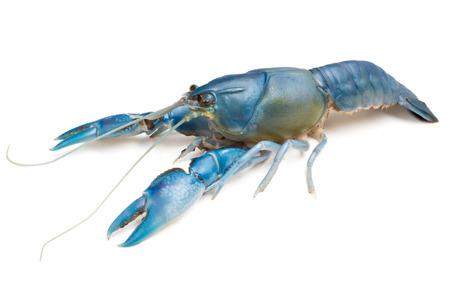 白い背景の青いザリガニ (Cherax デストラクター)。