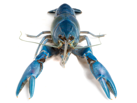 Blue crayfish ( Cherax destructor ) on white background. Stock Photo