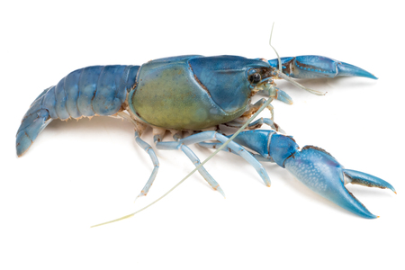 Blue crayfish ( Cherax destructor ) on white background. Stock Photo
