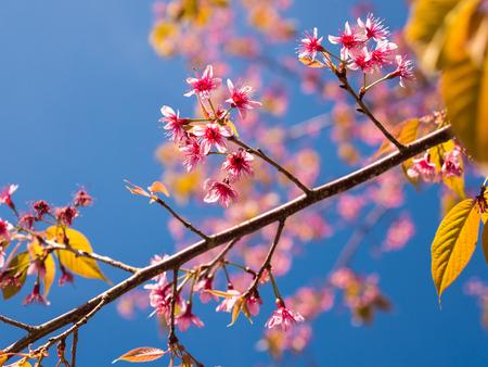 Pink spring flowers with blue sky background. 版權商用圖片